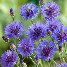 Die Kornblume verzaubert durch ihre zahlreichen, blauen Blüten, die die ganze Saison hindurch erscheinen.