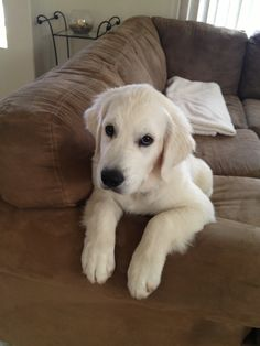 Met a breeder this weekend that told us that Hazel is part English Cream Retriever.   He may be right!