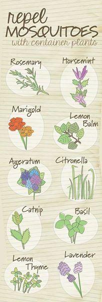 Top 10 Plants that Repel Mosquitoes! - Urban Organic Gardener