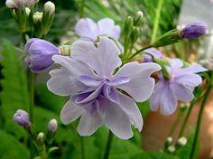 "Primula Sieboldii ""Kifajin"", Kew Gardens, London by BEARTOMCAT (Bear), via Flickr. Primrose"