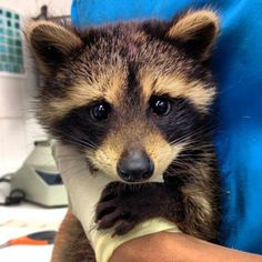 My girlfriend volunteers at an animal shelter and this little guy came in this morning! (So Cute~) Baby Racoon, Pet Raccoon, Cute Funny Animals, Cute Baby Animals, Animals And Pets, Cute Animal Pictures, Animal Pics, Spirit Animal, Animal Shelter