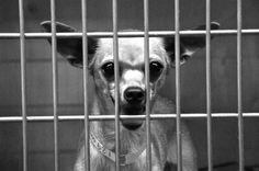 chihuahua shelter dog art behind bars black and white by Lundberg, $25.00