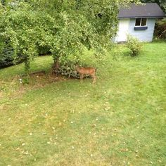 I get about half a dozen deer that come into the backyard.