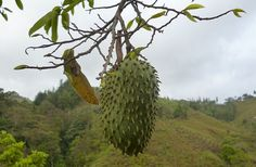 can-guanabana-cure-cancer