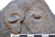 """Gabonionta: Wie Mehrzeller versuchten, die Erde zu erobern - Fossilien, die aussehen wie versteinerte Ohren, erzählen die sensationelle Geschichte einer der größten Umwälzungen der Erdgeschichte: dem """"Great Oxydation Event"""". Mehr dazu hier: http://www.nachrichten.at/nachrichten/weltspiegel/Gabonionta-Wie-Mehrzeller-versuchten-die-Erde-zu-erobern;art17,1323424 (Bild: NHM)"""