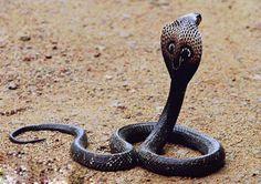 Snakes: King Cobra, Banded Sea Krait, Reticulated Python, Diamondback Rattlesnake, Titanoboa - Snakes are awesome. King Cobra Pictures, Sea Krait, Indian Cobra, Kobra, Snake Facts, Weird Facts, King Cobra Snake, Reticulated Python, Snake Venom