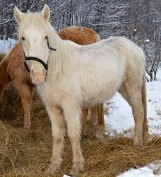 Diamond is an adoptable Draft Horse in Boyne City, MI. Diamond came to us from a group of 32 horses seized due to neglect. She is very apprehensive of people, but has been coming around with continued...