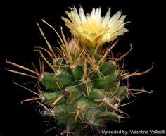Astrobergia cv. Astrophytum crassispinoides x Leuchtenbergia principis