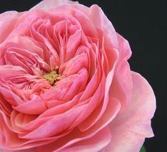 Maria Theresa Garden Roses: all year $$$