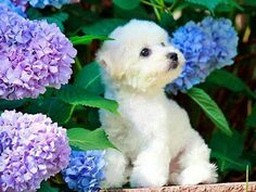 Currently viewing archives from Puppy Pictures Bichon Dog, Maltese Dogs, Teacup Maltese, Cute Puppies, Cute Dogs, Dogs And Puppies, Doggies, Maltese Tattoo, I Love Dogs