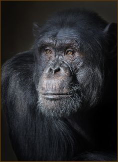 """/ Photo """"Casi humanos"""" by Carles Just Primates, Mammals, Planeta Animal, Magnificent Beasts, Animals Beautiful, Beautiful Creatures, Animals And Pets, Cute Animals, Wild Creatures"""