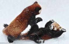Cutest little red pandas enjoying a day in the snow (cue: awwww!)