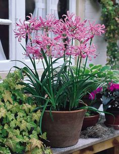 Guernsey lily