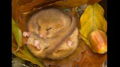 """This sleepy autumn scene in Devon, England was highly commended in the wild woods category and was taken by Danny Green who pointed out the intricacies of photographing endangered mammals, saying: """"This dormouse is hibernating and so I used a qualified handler to help me."""""""