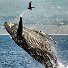"""""""O Grito do Bicho"""": Grupos de baleias jubarte escapam da ameaça de ext..."""