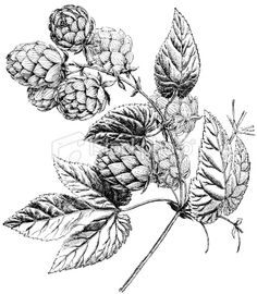 An image of hop branch by Some(Ivan Burmistrov) on SpiderPic, a price comparison search engine for royalty free stock photos. Plant Illustration, Photo Illustration, Hop Tattoo, Honey Bee Tattoo, Hirsch Tattoo, Seashore Decor, Beer Hops, Flower Sketches, Botanical Tattoo