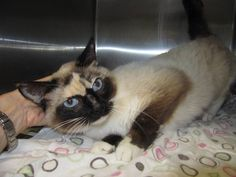 ***Past Due out Date but is now a shelter pick and has received more time BUT CAN COME OFF HOLD AT ANY TIME IF SHE GETS SICK!  Laurell is a 1 year old Siamese & her ID# is 1537953  .Video of Laurell: https://www.facebook.com/photo.php?v=453935001360112 .  Hillsborough County Animal Services, 440 N Falkenburg Rd,  Tampa, FL 33619 . (813) 744-5660 . Open 7 days a week 10-7