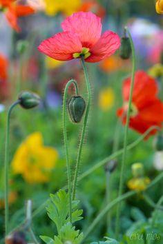 (via 500px / pretty poppies by Eva Rios Ortega)  spring flowers