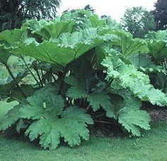 FOR A BOG GARDEN.slow growing GIANT for sculptural interest in your garden. Bog Garden, Garden Shrubs, Shade Garden, Dream Garden, Garden Plants, House Plants, Garden Landscaping, Garden Stakes, Tropical Garden
