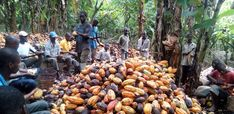 Big Chocolate Still Relies on Child Labor - Green Business Network African Development Bank, Green America, Big Chocolate, Green Business, Business Networking, Fair Trade, Agriculture, Cocoa