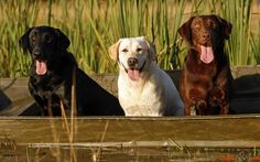 Wallpapers der Labrador Retriever
