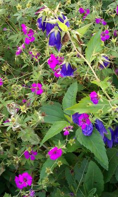 July 1: Geranium 'Patrica' (cranesbill geranium), Campanula 'Kent Belle' (hybrid bellflower)