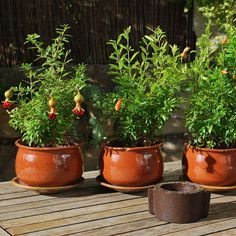 #punicagranatum  #magraner #jardí  #garden  #garten  #giardino  #trädgård  #mygarden  #inmygarden
