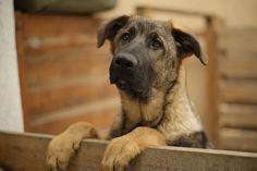 Don, East German Shepherd pup