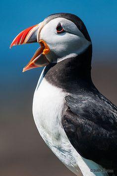 Atlantic Puffin calling, Lunga Island, Treshnish Isles, Scotland