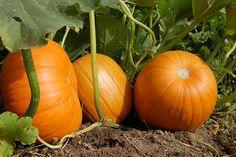 Pumpkin, Vegetable Garden, Harvest