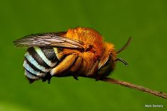 Our Beautiful Blue Banded Bee: Macro and Still Life Photography Forum: Digital Photography Review
