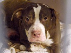 TO BE DESTROYED - 12/07/14 Manhattan Center   My name is RUBY. My Animal ID # is A1022216. I am a female brown and white pit bull mix. The shelter thinks I am about 5 YEARS old.  I came in the shelter as a STRAY on 12/03/2014 from NY 10462, owner surrender reason stated was ABANDON.