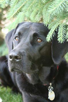 Gorgeous Black Labrador