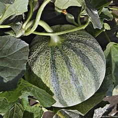 Melon is a tasty and flavorful fruit. Growing, sowing, planting and harvest are due a bit of attention if you want to produce nice melons. Types Of Watermelon, Growing Melons, Culture Tomate, Tunnel Greenhouse, Farm Projects, Powdery Mildew, Annual Plants, Fruit And Veg, Herb Garden