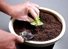 # 栽培介質 - 首要考慮:種類單純、效果好、價廉。除固定植株外,應:通氣、保水力強、陽離子交換能力高 (保肥力高),性質穩定、適當的 pH 值、碳氮比、和導電度值 (EC 值低 》鹽分低),無病蟲源、無毒性,質輕、耐衝擊,操作方便,取得容易。一般而言,大型觀葉植物介質比重要大一點,可拌入土壤或砂,以免倒伏;小盆栽多採輕質無土介質,多由兩種以上成分依不同比例混成。 ⚫ 種子盆栽:初學適用泥碳土 -- 市售多混合其他介質或肥料稱「培養土」:顆粒要細,配方多。◾混拌,以增加孔隙度與通氣性:◼ 細河沙約 5:1 / ◼ 蛭石 / ◼ 珍珠石 / ◼ **赤玉:適多肉,對種子盆栽保濕不夠。混拌比例除了考量植物特性,價格也是重點:便宜的多拌些,貴的少拌些。 ⚫ 明顯喜酸性的有 **食蟲植物 *橘子 *檸檬, 茉莉, 山茶花, 梔子花 Gardenia, 杜鵑 Azalea, 海芋、鈴蘭、秋海棠類、觀賞鳳梨、鐵扇、藍莓;傾向於酸性的如 ***鐵線蕨 *羊齒。 ⚫ 彩葉芋喜歡較黏的有機土,粗肋草喜歡排水良好的砂質壤土。 Knowledge, Green, Plants, Plant, Planets, Facts