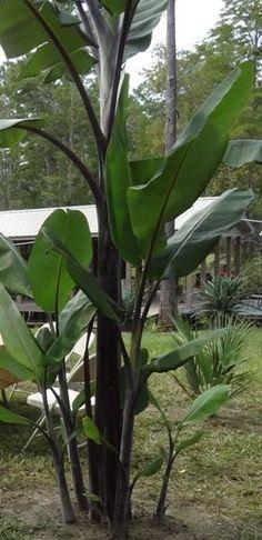 10 Seeds Musa Balbisiana Atia Black Stemmed Banana Thai