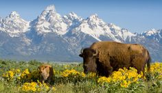 Yellowstone Bison | Yellowstone National Park is home to some ...