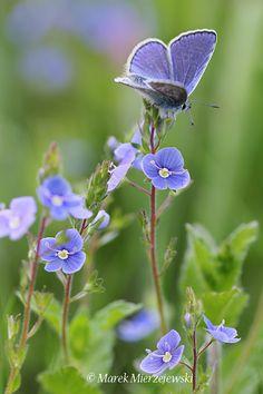 Common Blue (Polyommatus icarus) by Marek Mierzejewski  via 500px