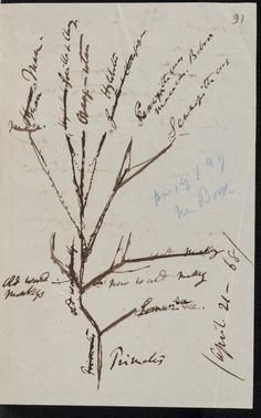 Charles #Darwin tree diagram of primate descent, 1868