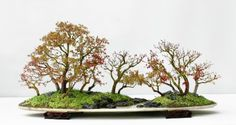 Japanese maple (Acer palmatum) by Qingquan Zhao