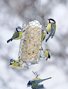 Pihalintujen bongaus järjestetään 24.–25.1.2015. Talitiainen ja sinitiaisia. Kuva: Pekka Nurminen