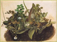 "Durer ""Tuft of Grass"" mostly weeds and wildflowers, not grass"