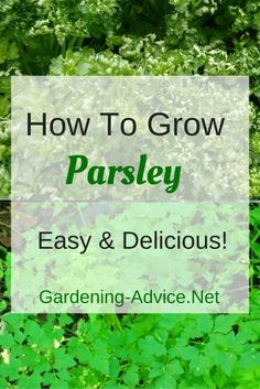 Learn all you need to know about growing Parsley. Flat leaf or curled parsley are a must if you like growing herbs. You can grow a parsley plant as part of your indoor herb garden or outside. Parsley Plant, Rosemary Plant, Grow Rosemary, Growing Herbs, Growing Vegetables, Parsley Growing, How To Grow Parsley, Shade Garden, Garden Plants