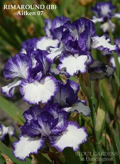"(Terry Aitken 2007) IB iris, 22"" (56 cm), ML Flower: S. white, heavy purple plicata stitching; F. white, very round, purple plicata band; beards white tipped purple. Sdlg. 00M20D: Art Deco X Fairy Rin"