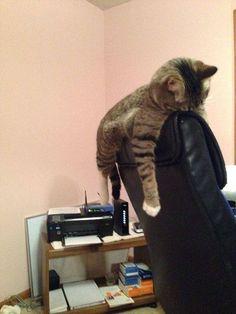 Les chats peuvent dormir partout et dans n'importe quelle position, sur le rebord d'un fauteuil ...