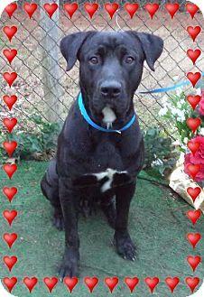 Marietta, GA - Labrador Retriever/Great Dane Mix. Meet VOVA a Dog for Adoption.