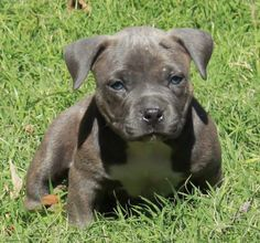 Ole Smoky Mountain Moonshine - Pocket American Bully Puppy at 4 weeks of age.