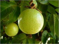 Cómo Sembrar fruta Granadilla - TvAgro por Juan Gonzalo Angel - YouTube