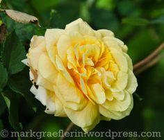 Aus meinem Garten: Mai (2) Diy Garden Projects, Mai, Garden Inspiration, Roses, Home And Garden, Gardening, Board, Flowers, Plants