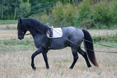 Gaiting on long rein with Black Pepper
